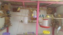 طيور بادجي للبيع واتساب736987490