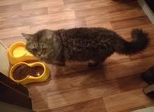 قط شيرازي ضخم للتبني