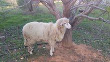 خروف روماني بصحة جيدة ونضيف