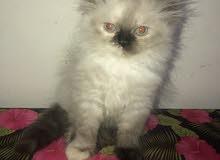 قطة هيمالايا تشوكلت للبيع بالاسكندرية
