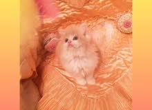 قطة كريمي روعة نوعية اجنبية شيكوو باي كلرر