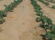 للبيع اراضي مستصلحة ومستوية بالكامل 12 فدان  وجاهزة للزراعة وجميع المشروعات
