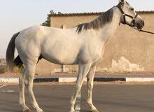 حصان محلي بدون جواز