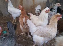 صيصان دجاج