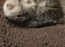 قطة شيرازي لعوبة للبيع بمكة