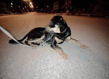 كلب روت وايلر للبيع أو البدل