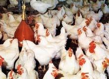 دجاج  طازج للبيع  وزن 800الى900جرام الحبه ب ريال وحد