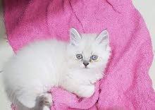 قطط هملايا شانيلا بسعر مغري لضيق المكان