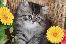 persian kitten 2.5 month