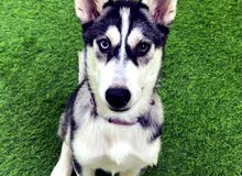 5 month old Husky for sale