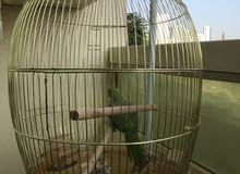 Parrot with cage for sale