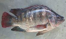 يتوفر معي اسماك البلطي واسماك الزينه بكل الاحجام
