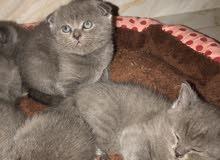 British short hair and scottish fold kittens