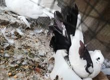 زوج عرايس جواهن بيضهن شاد مراوس بطيورحب لو ابيع