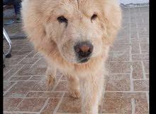 كلب جاوجاو بيور العمر 2 سنه الحجم الكبير