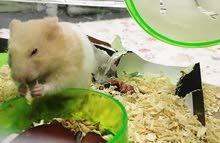 hamster for adoption