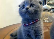 قطط سكوتش فولد لعوبيين وبصحه ممتازة،توصيل لكل الامارات delivery to all uae