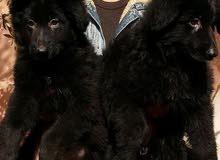 royale black jack / روايال بلاك جاك