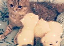 قطه بريتش للبيع العمر 10 شهور