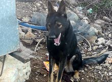 كلب جيرمني للبيع للاستفسار الرجاء الاتصال(300)دينار