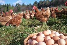 توريدات  بيض مائدة طازة من مزارعنا