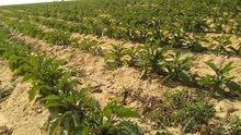 أرض زراعيه 25فدان مسجله من الهرم 45كيلو كاملة المرافق والخدمات ت 01033639236