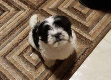 كلب شيتزو بيور
