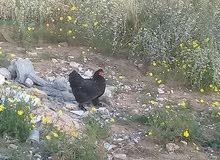 دجاجتين عربيات مجنس على استرالي