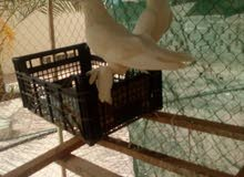 حمام بحريني