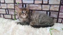 Rare color maine coon girl with pedigree 8000dhs fixed price