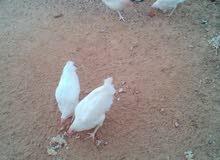 دجاج ابيض وفراريج