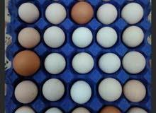 بيض دجاج عرب ومضرب ملقح للبيع