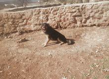 كلب جيرمن شرس لحراسه