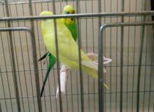 طيور كناري الي لونه اصفر انثى والي اخذضر ذكر