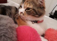 قط سيامو و قطة اونكورا