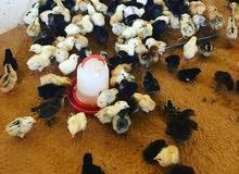صوص دجاج