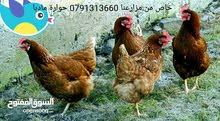 دجاج احمر ضخم البزرة الاصلية من عمر 6 اشهر الى سنة