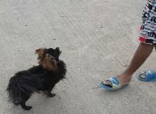 كلب زينه لولو ماكس مستوئ عالي يفتهم كلشي ومكفول من كلشي سعر 300 او مراوس بدراجه