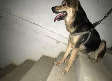 كلبة جيرمان بيور انثا
