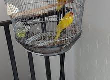 طيور كاكاىيكي