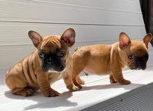 كلاب فرينش بولدوغ مستويات عالية