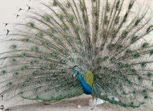 طاووس هندي