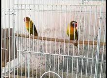طيور   فيشر  محلي الانتاج  زوج  واحد  يعني  ذكر  وانثى    للبيع