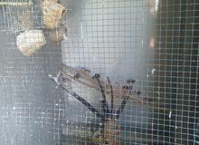 عصافير زيبرا للبيع .