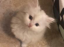 قطط شيرازي