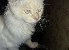 قطط انجورا تركي