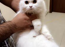 قطةً شيرازية بيور