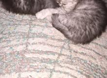 قطط العمر 45 يوم 50دينار شيرازي مون فيس  البيع سريع