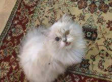 قطه همالايه عمرها 9 اشهر