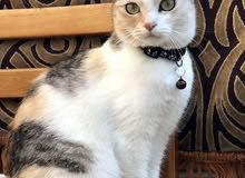 قطه انقوري عمرها 9 اشهر